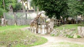El caminar de la familia de los animales salvajes del rothschildi de los camelopardalis del giraffa de la jirafa de Baringo almacen de video