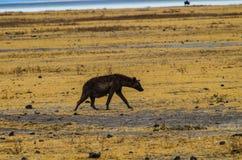 El caminar de la hiena Fotografía de archivo