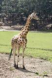 El caminar de la jirafa Imagen de archivo libre de regalías