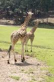 El caminar de la jirafa Imágenes de archivo libres de regalías