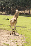 El caminar de la jirafa Fotografía de archivo libre de regalías