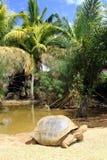 El caminar de la tortuga Fotos de archivo libres de regalías
