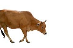 El caminar de la vaca y blanco aislado Fotos de archivo