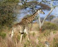 El caminar de la vista lateral de la jirafa Fotos de archivo libres de regalías