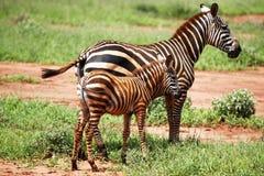 El caminar de las cebras Imagen de archivo libre de regalías
