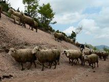 El caminar de las ovejas Foto de archivo libre de regalías