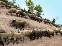 El caminar de las ovejas Foto de archivo