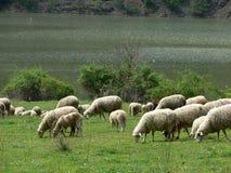 El caminar de las ovejas Imágenes de archivo libres de regalías