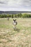 El caminar de los burros Fotos de archivo libres de regalías
