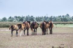 El caminar de los caballos Fotos de archivo libres de regalías