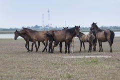 El caminar de los caballos Fotografía de archivo libre de regalías