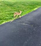 El caminar de los ciervos del bebé Fotografía de archivo libre de regalías