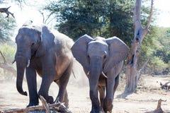 El caminar de los elefantes Fotografía de archivo