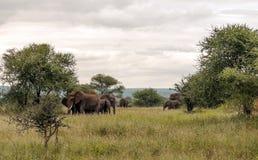 El caminar de los elefantes Imágenes de archivo libres de regalías