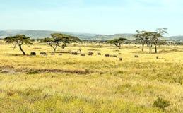El caminar de los elefantes Foto de archivo