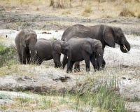 El caminar de los elefantes del adulto y del niño de la manada Fotografía de archivo libre de regalías