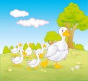 El caminar de los gansos del ganso y del bebé Fotos de archivo