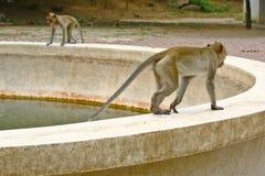 El caminar de los monos Imagen de archivo libre de regalías