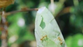 El caminar de muchas hormigas almacen de video