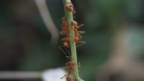 El caminar de muchas hormigas almacen de metraje de vídeo