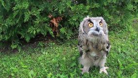 El caminar del búho de Eagle del eurasiático almacen de video