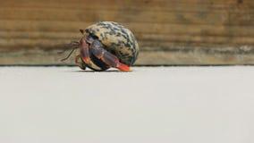 El caminar del cangrejo de ermitaño almacen de video