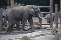 El caminar del elefante fotografía de archivo libre de regalías