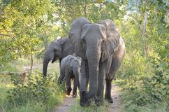 El caminar del elefante imágenes de archivo libres de regalías