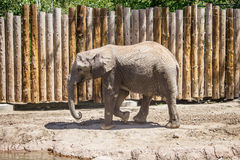 El caminar del elefante Foto de archivo