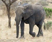 El caminar del elefante Imagenes de archivo