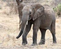 El caminar del elefante Fotos de archivo