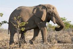 El caminar del elefante de Namibia imágenes de archivo libres de regalías