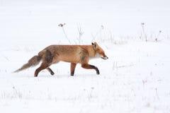 El caminar del Fox imagen de archivo