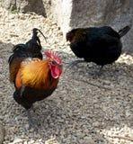 El caminar del gallo y de la gallina fotos de archivo libres de regalías