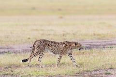 El caminar del guepardo Fotografía de archivo