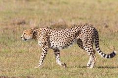 El caminar del guepardo Imagen de archivo libre de regalías