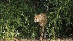 El caminar del guepardo Imagen de archivo