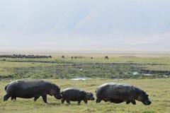 El caminar del hipopótamo fotografía de archivo libre de regalías