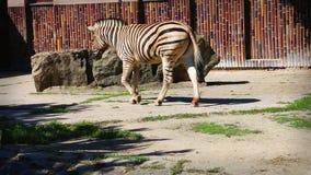 El caminar del lado de la cebra de los llanos (quagga del Equus), estabilizado almacen de video