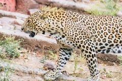 El caminar del leopardo imagen de archivo libre de regalías
