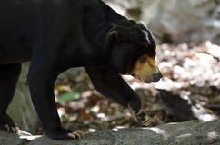 El caminar del oso de Sun Foto de archivo libre de regalías