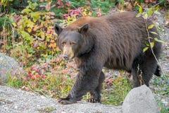 El caminar del oso negro nuestro del bosque Fotos de archivo libres de regalías