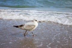 El caminar del pájaro Imágenes de archivo libres de regalías