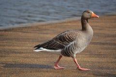 El caminar del pato Fotografía de archivo