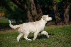 El caminar del perrito Imagenes de archivo