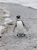 El caminar del pingüino Foto de archivo libre de regalías