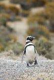 El caminar del pingüino Fotos de archivo