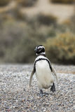 El caminar del pingüino Foto de archivo