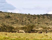 El caminar del rinoceronte Fotos de archivo libres de regalías
