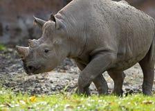 El caminar del rinoceronte Imagen de archivo libre de regalías